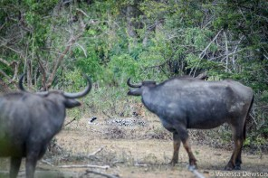 Water Buffalo staring down a leopard