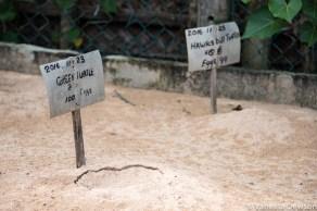 Turtles about to hatch, Sri Lanka
