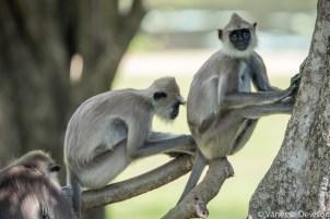 Langur Monkeys, Polonnawura, Sri Lanka