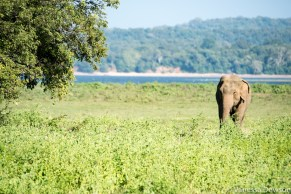Wild elephant in Minneriya, Sri Lanka