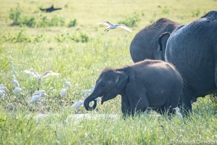 Wild baby elephant in Minneriya, Sri Lanka