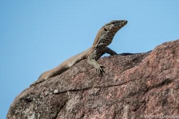 Lizard sunning itself on the ruins of Polonnawura
