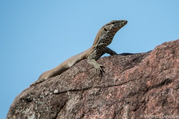Lizard sunning itself on the ruins of Polonnawura