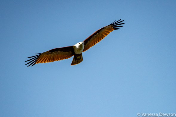 White bellied fish eagle, Sri Lanka