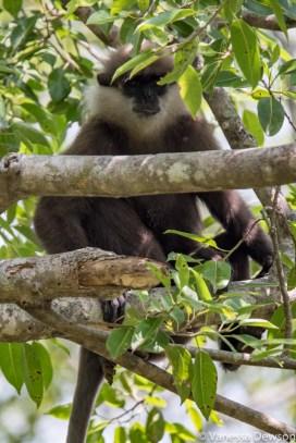 Bear Monkey, Polonnawura, Sri Lanka