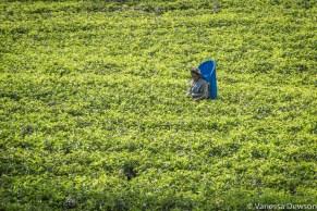 Woman picking tea leaves, Sri Lanka.