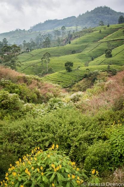 Tea Plantation, Srio Lanka