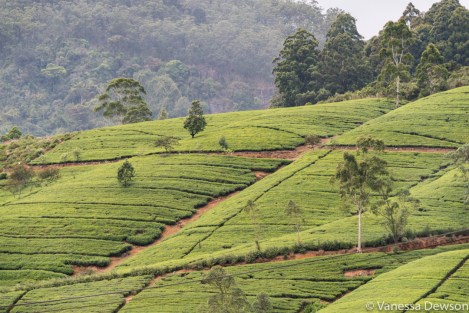 Tea plantation, Nanu Oya, Sri Lanka