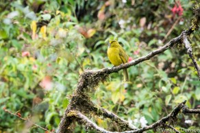 Endemic bird, Horton Plains, Sri Lanka