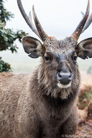 Male sambur deer