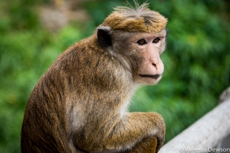 Macaque Monkey, Sri Lanka