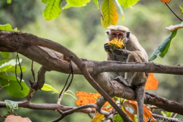 Monkey thief with a mango.
