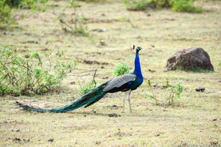 Peacock in Yala National Park