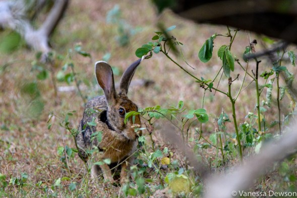 Black-neck hare, Yala National Park, Sri Lanka