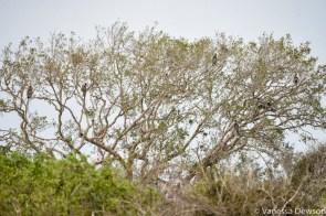 Langur monkeys in a tree, Yala National Park
