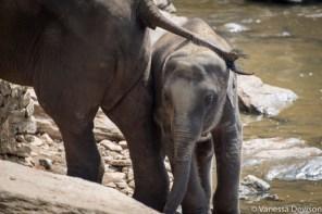 Baby asian elephant in Pinnawala.