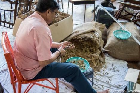 Removing pods for Ayurvedic medicine, Gangaramaya Temple