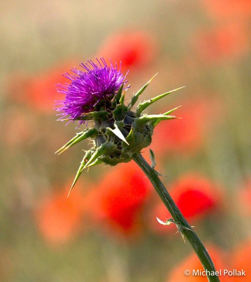 Thistle in a poppy field. Photo by: Michael Pollak