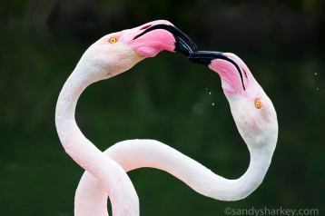 Duelling Flamingos. Photo by: Sandy Sharkey