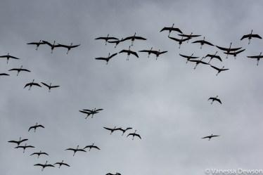 Flamingos in flight. Photo by: Vanessa Dewson