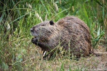 Coypu. Photo by: Vanessa Dewson