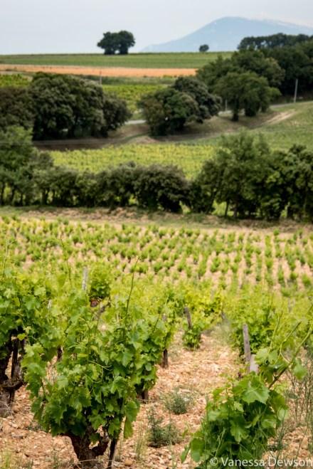Vineyards. Photo by: Vanessa Dewson