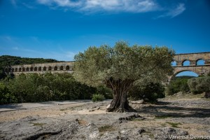 An olive tree almost as old as the aquaduct. Photo by: Vanessa Dewson
