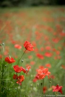 Poppies. Photo by: Vanessa Dewson