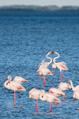 Flamingos bickering. Photo by: Vanessa Dewson