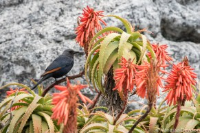 Starling in the aloe flowers