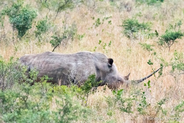 White Rhino with a long horn