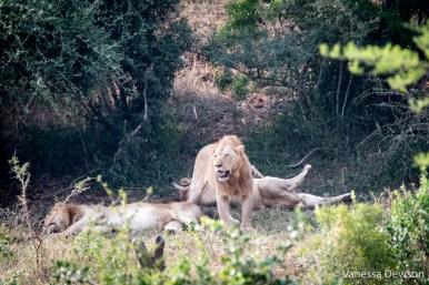 Lions in Hluhluwe-iMfolozi Park