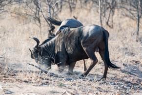 Wildebeest fighting
