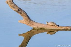 Taroulin on a dead tree trunk