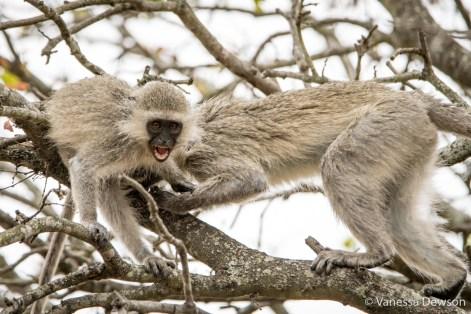 Vervet Monkeys fighting