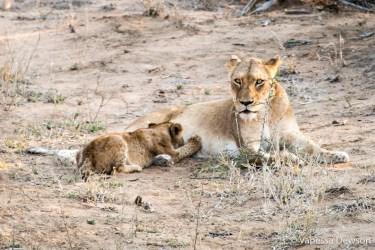Lion cub nursing