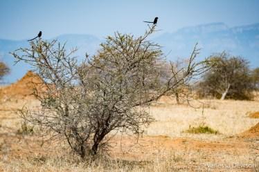 Magpie Shrikes on a thorn tree