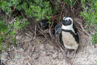 Penguin with chicks