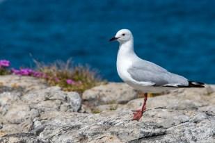 King Gull