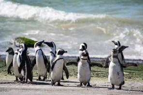 Stony Point Penguin