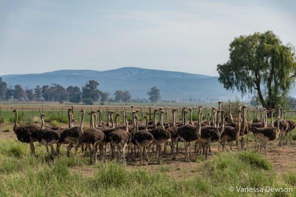 Female Ostriches on a Farm, Oudsthoorn