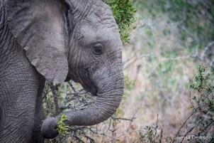 Baby Elephant Close Up - Thula Thula