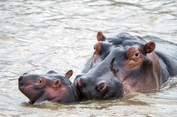 Mom and Baby Hippo - St Lucia