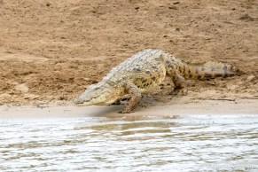 Croc entering the St Lucia Estuary