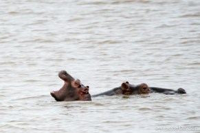 Baby hippo and mom - St Lucia