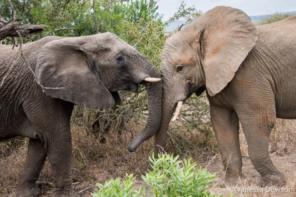 Meeting the Elephants in Thula Thula