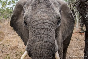 Elephant wanting a close up - Thula Thula