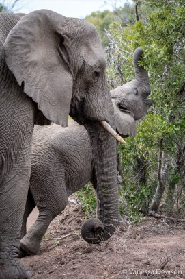 Mom and Baby ELephant - Thula Thula