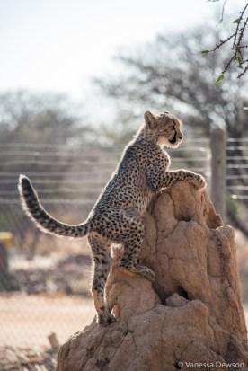 Cheetahs are pretty good climbers.