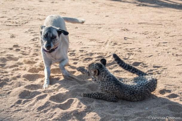 Dog vs cheetah